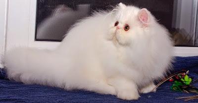 Daftar Lengkap Harga Pakan Kucing Peliharaan (Persia & Anggora)