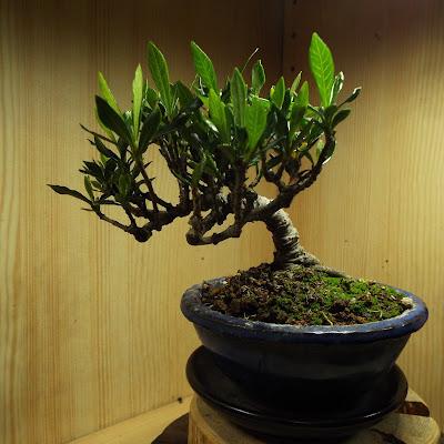 クチナシの盆栽