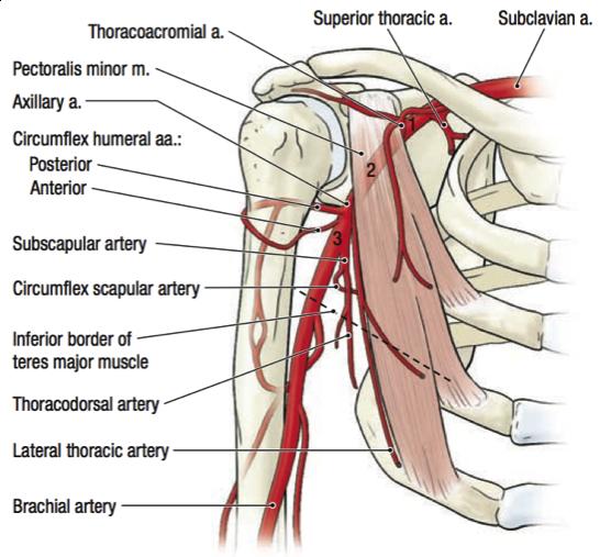 Breve guia de disección de plexo braquial – Gustavo Monraz