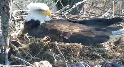 Decorah Eagle Webcam