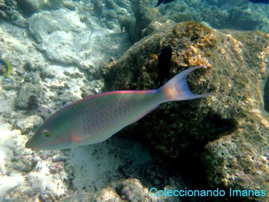 pez loro de colorines