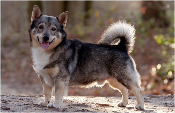 Guess the breed Swedish-Vallhund