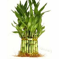वास्तु शास्त्र में बेहद फायदेमंद है बॉस का पौधा (bamboo plant)