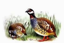 Malay Partridge