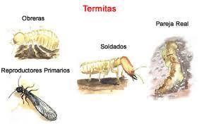 eliminar-hormiga-de-fuego-termitas