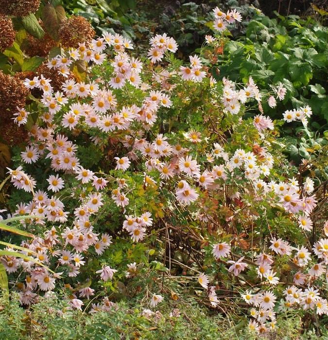 Chrysanthemum × morifolium 'Wisp of Pink' Crisantemos en otoño