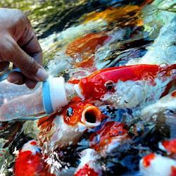 Manfaat Garam Untuk Ikan Hias Dan Cara Menggunakannya Bakasura Cendekia