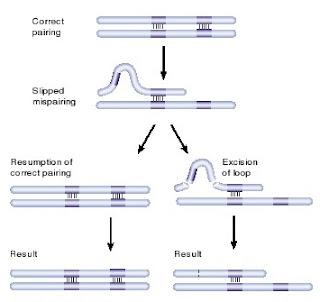 mutasi spontan, slipped mispairing, Penyebab Point Mutation (Mutasi titik) pada DNA, ultra violet penyebab mutasi, Mutasi DNA, mutasi DNA karena sinar ultra violet, penyebab mutasi DNA, Senyawa kimia penyebab mutasi DNA, bahan kimia pemicu mutasi DNA