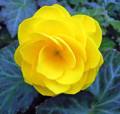 Bunga Tercantik di Dunia-Begonia