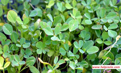 Fenugreek leaf - फन्युग्रीक लीफ हरी मेथी