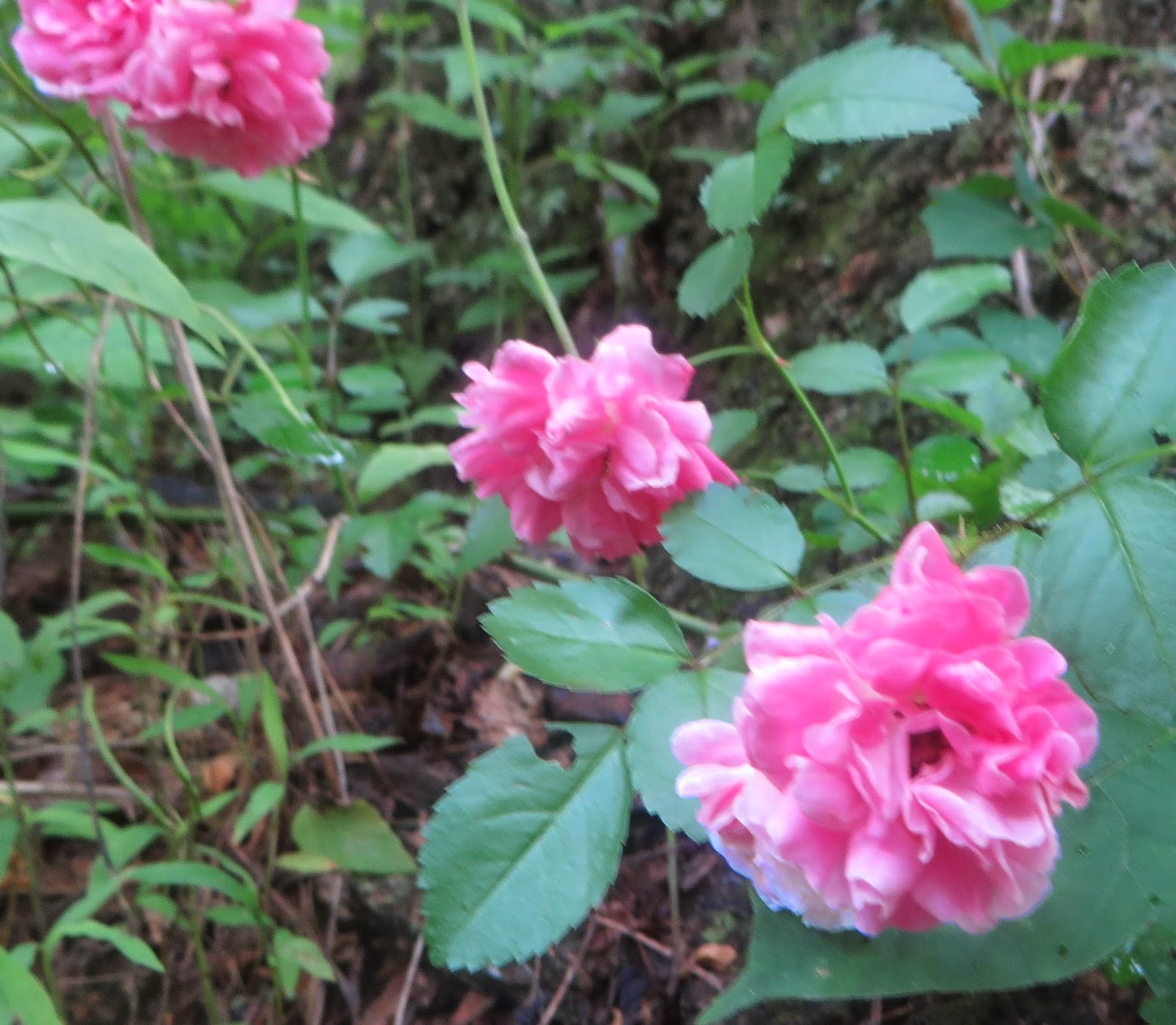 Old Rag Mountain Hikes/Patrols By RSL: June 2014