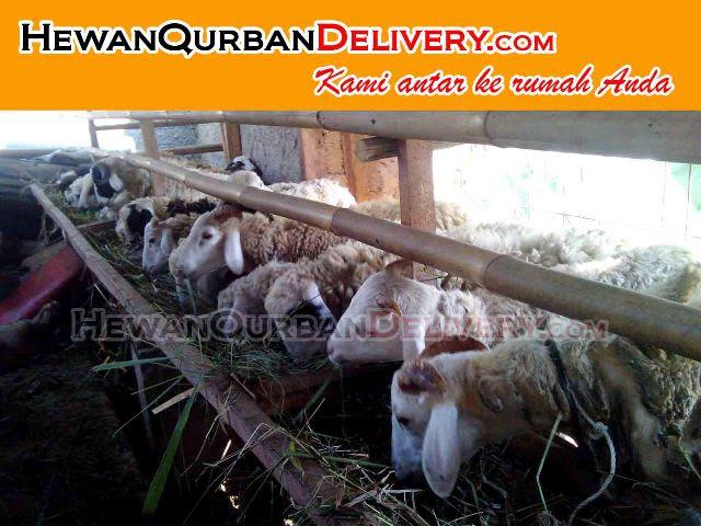 harga kambing kurban 2016