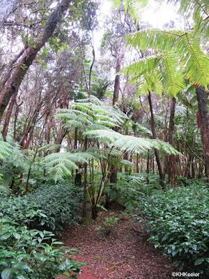 Hawaii Tea forest, Volcano Hawaii