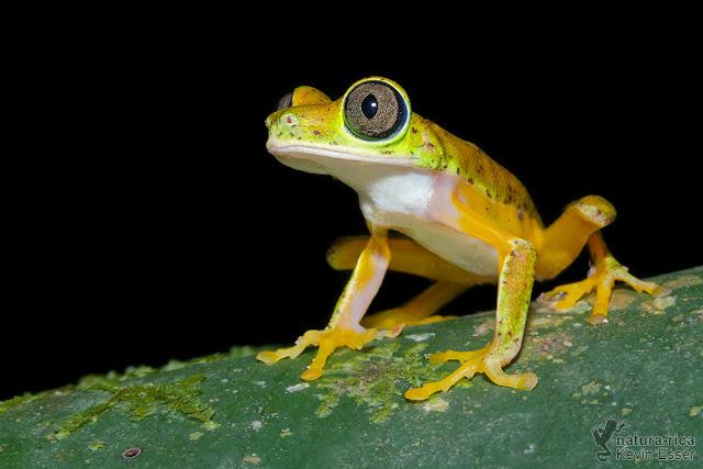 Agalychnis lemur - Lemur Leaf Frog