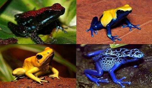 Zehirli Ok Kurbağası Dünyanın En Zehirli Hayvanlarından Biri