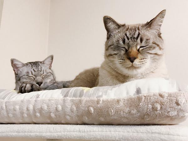 キャットタワーのてっぺんのベッドにいるシャムトラ猫とサバトラ猫
