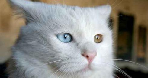 Catchthefallingsky Ciri Ciri Kucing Anggora Mix Kampung