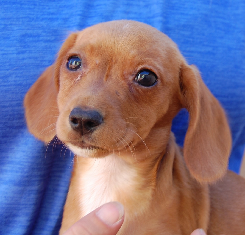 Adoption: Nevada SPCA Animal Rescue: Penelope's Puppies Are Ready