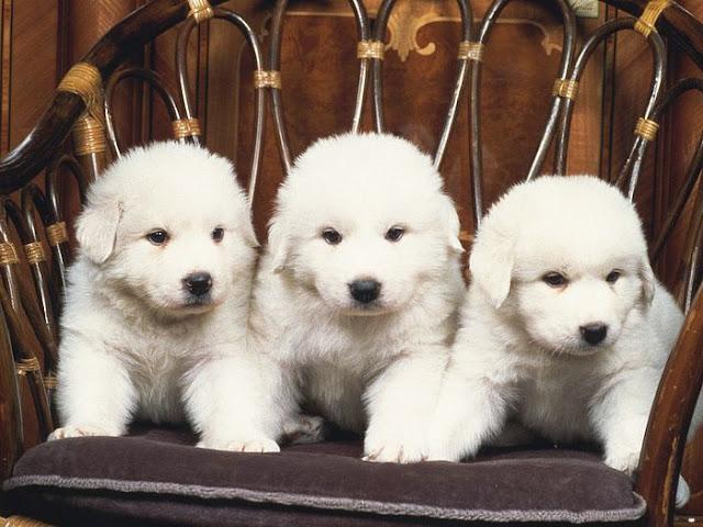 Extreme Dog Breeds: Akbash Dog   640 x 480 jpeg 82kB