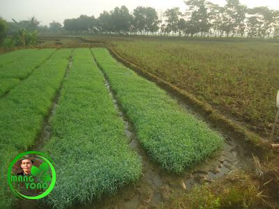 Bibit / benih padi di pawinian / penyemaian.