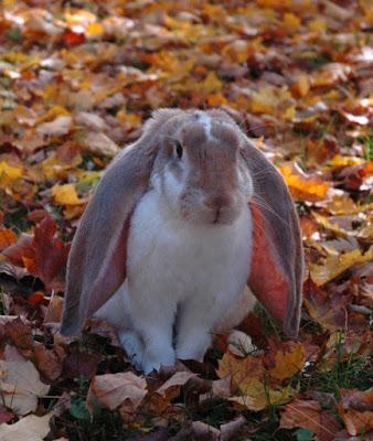 english lop rabbit outdoors