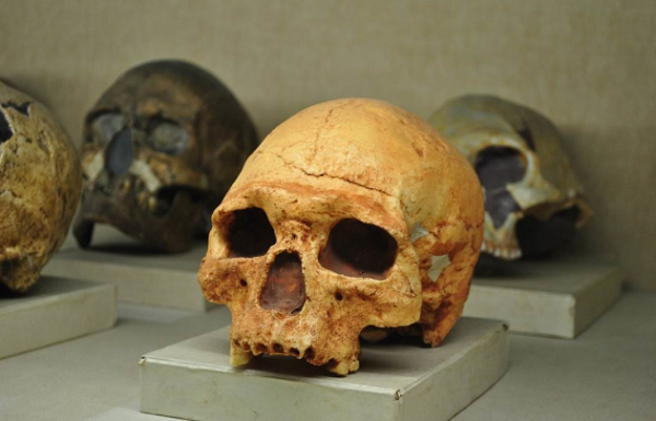 Koleksi Museum Geologi Bandung, Fosil tengkorak manusia purba