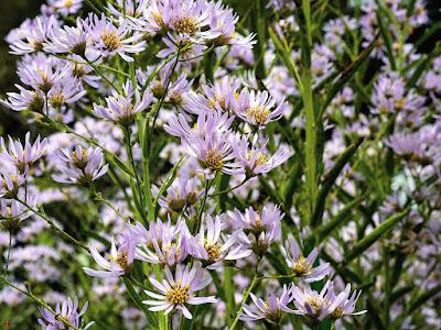 Sion (Aster tataricus) flowers: Kaizo-ji