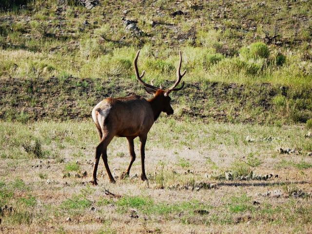 """La famille elk """"stationne"""" toujours sur les vertes et vastes  prairies de Gardiner"""