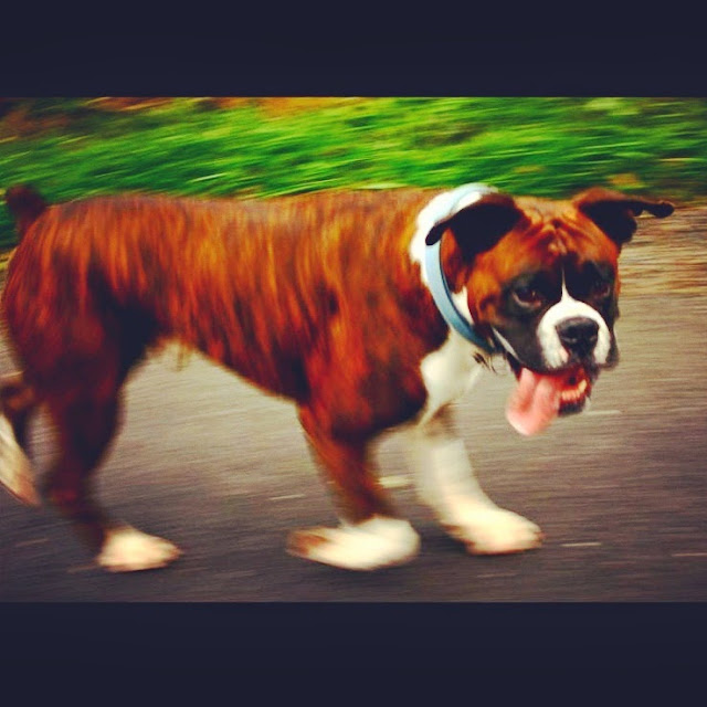 blurred image of a boxer dog