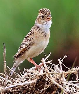 Suara Burung Melodious Lark