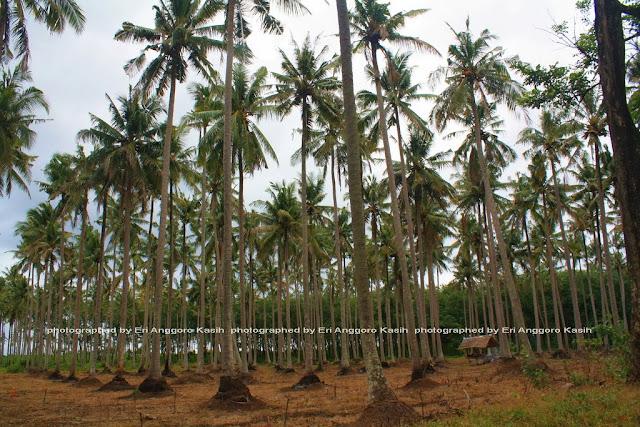 Kebun kelapa sekitar PTPN Miramare.