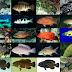 Mengenal Jenis Ikan Kerapuh Bernilai Ekonomis Tinggi Oleh Abdullah, A.Pi, MMA / Widyaiswara BPPP Medan
