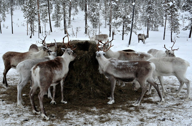 Reindeer around a feeding trough in Lapland