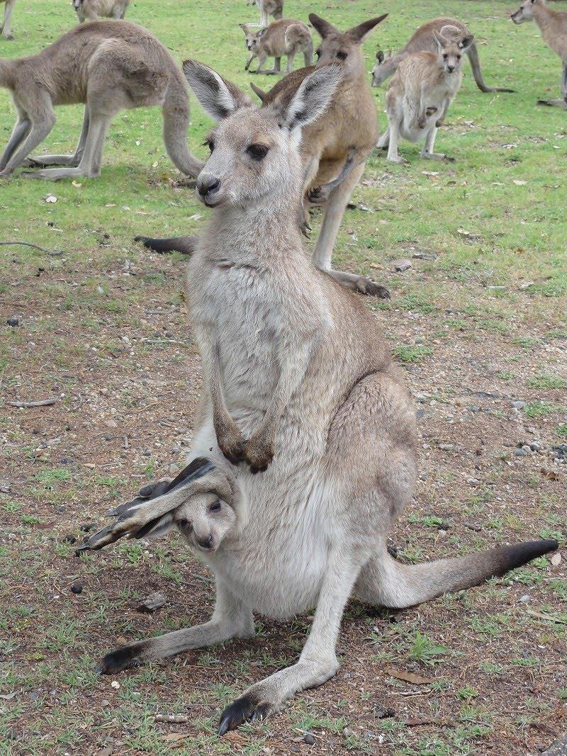 Snap Happy Birding: Kangaroos... this afternoon