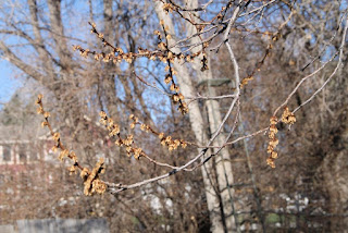 Freeze-killed apricot blossoms