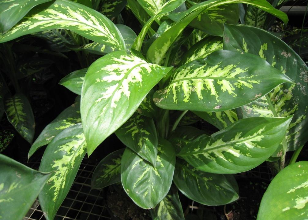 Easy to grow plants houseplants kinds of ornamental plants for Planta ornamental venenosa dieffenbachia