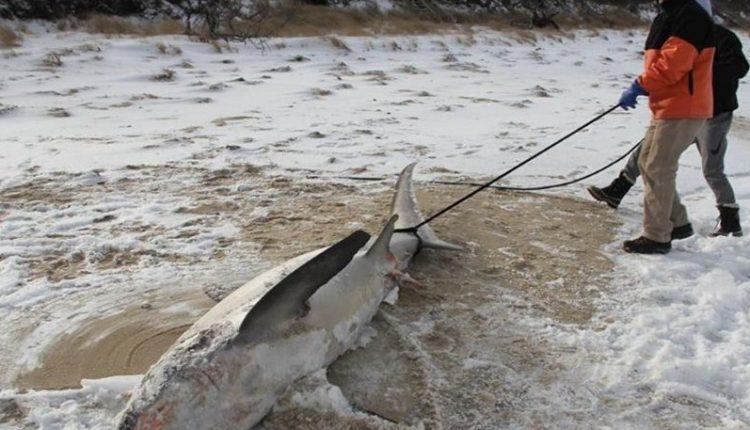 Πρωτοφανείς καταστάσεις στις ΗΠΑ από το πολικό ψύχος - Καρχαρίες πάγωσαν μέχρι… θανάτου