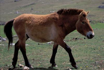 Przewalski´s Horse