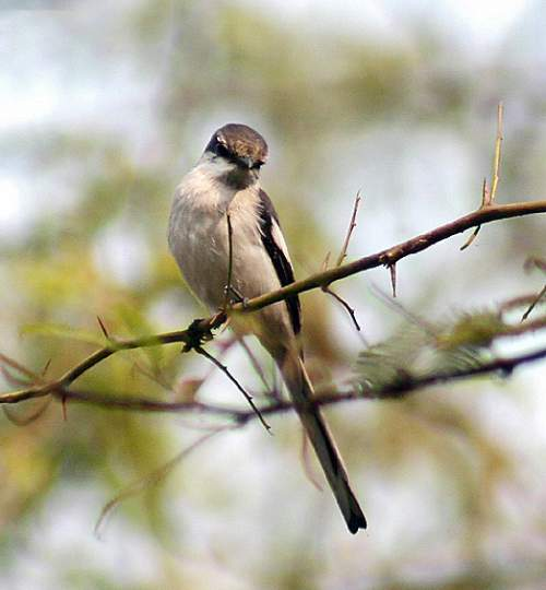Birds of India - Image of White-bellied minivet - Pericrocotus erythropygius
