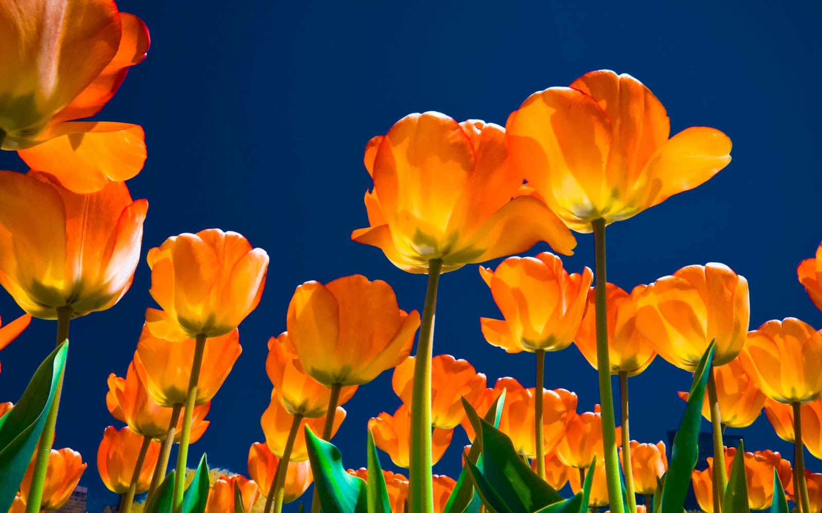 3d Wallpapers For Spring Wallpapers Tulips Wallpapers