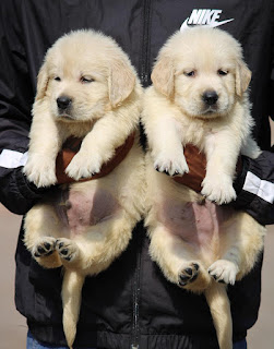 golden retreiver puppies for sale in bangalore