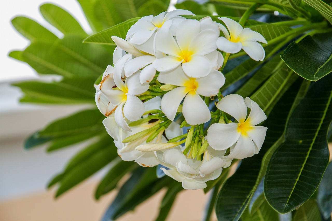 Gambar Bagian Bunga Kamboja Gambar Bunga