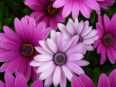 arbusto-de-flores-de-petalos-color-purpura