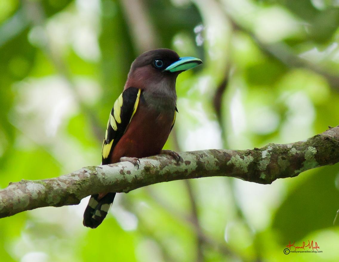Malaysia Birds Paradise: Banded