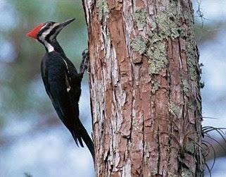 Cara Menangkap Burung Pelatuk Di Dalam Lubang Sarangnya Dengan Menggunakan Ular