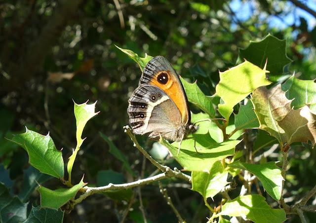 papillon calanques