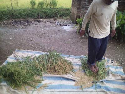 Perontokan padi secara manual dan tradisional