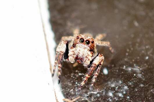House Jumping Spider