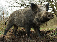 Boar Animal Pictures