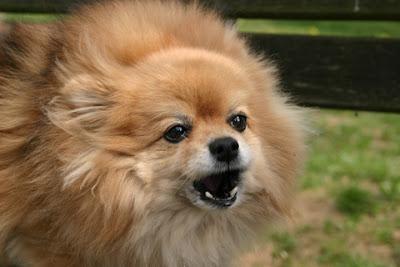 Simptomi sindroma malog psa - Panvet subotica